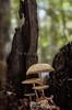 Mushroom VI