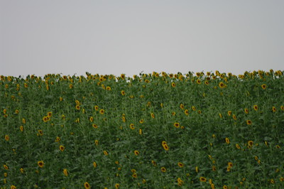 South Dakota - Sunflowers in Bloom
