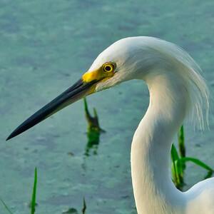 Snowy egret (Egertta thula)