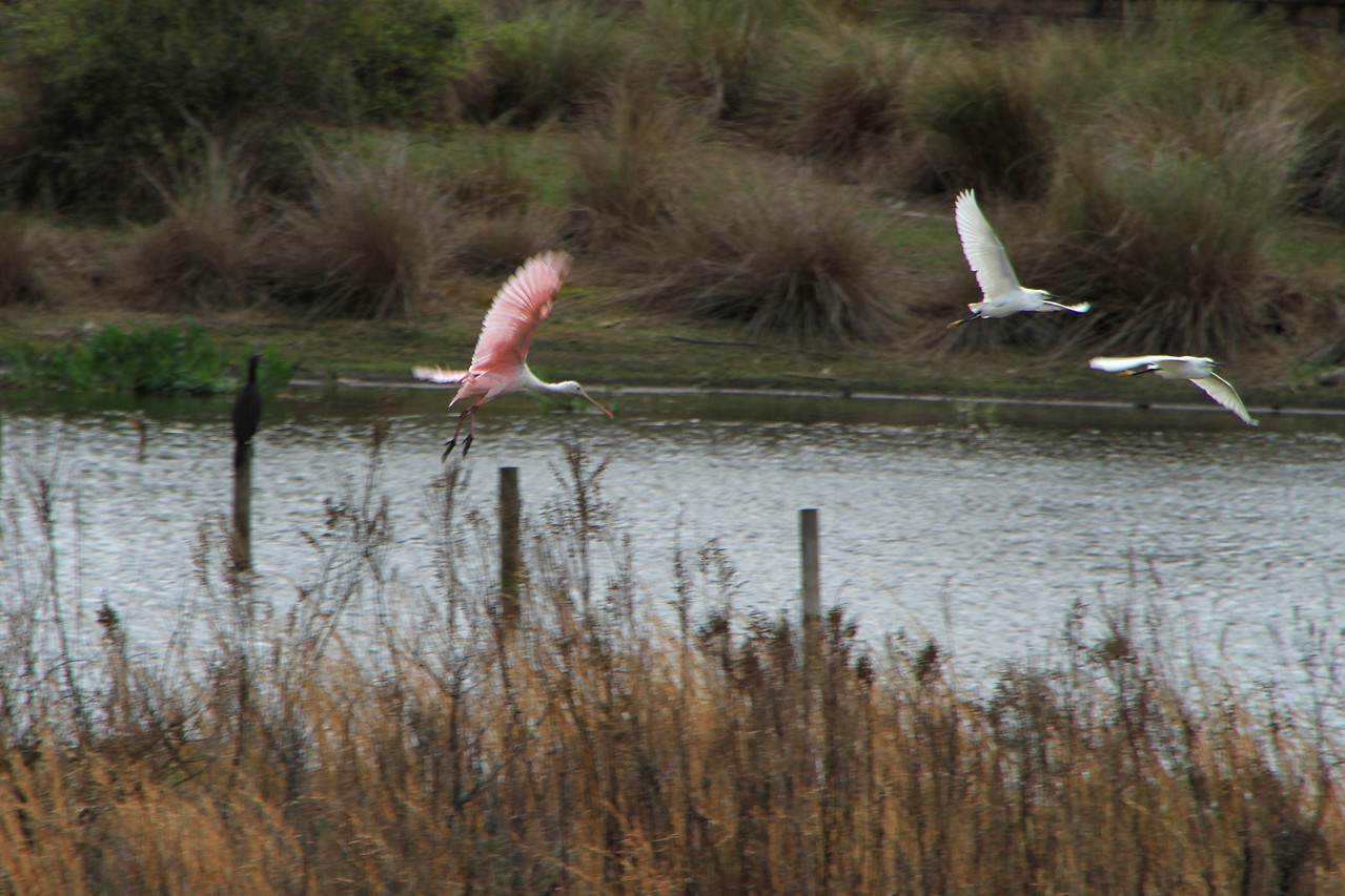 Roseate Spoonbill coming in for a landing.  They are rare to this area of the state.