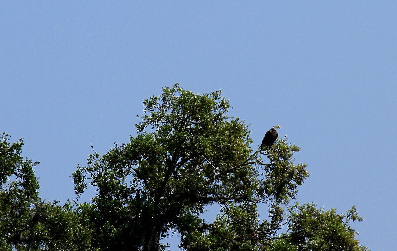 An eagle watching over the lake area in front of him.  Hmmm, now where did that Osprey go with lunch?