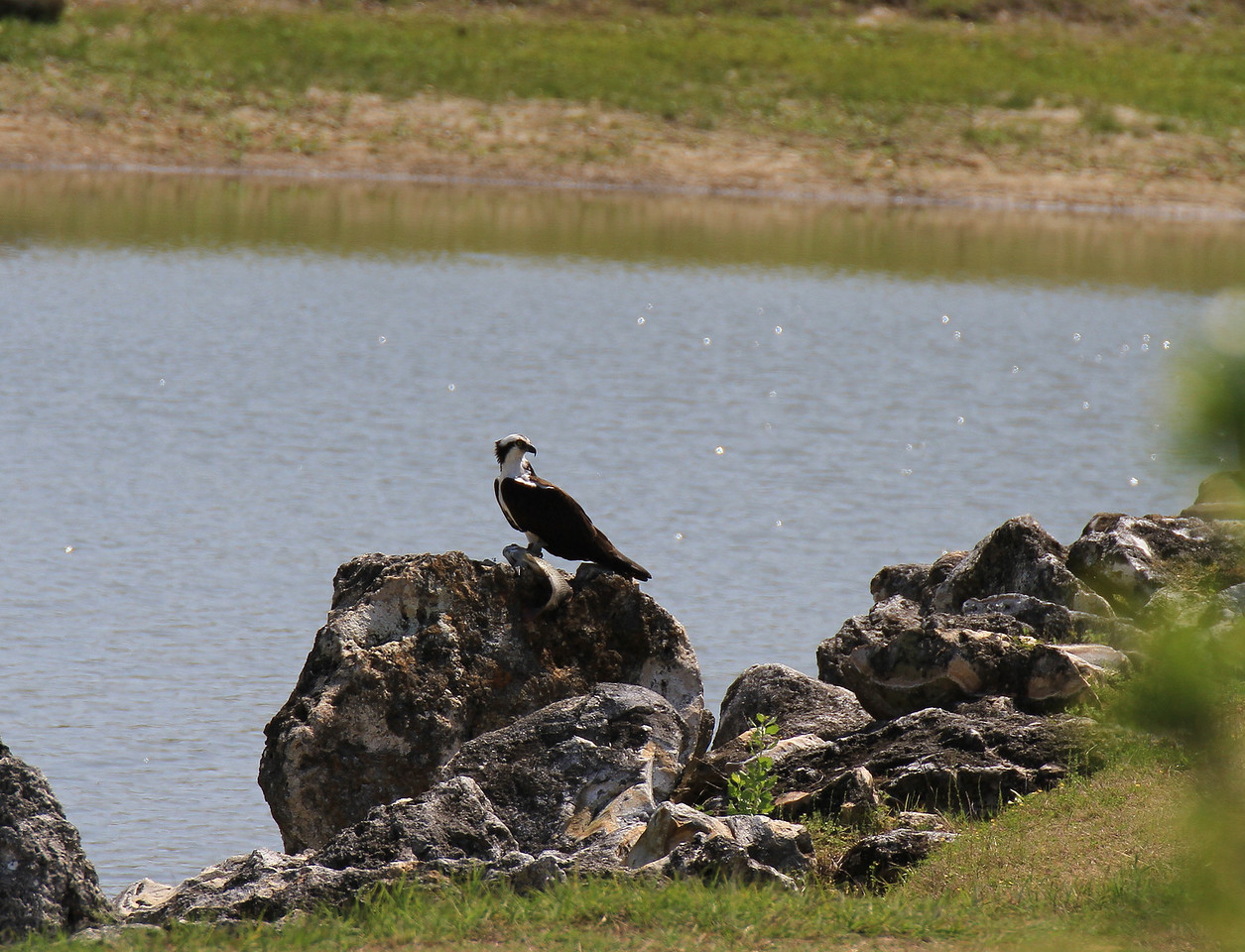 Osprey with lunch on the rock.