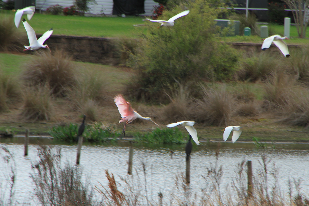 Roseate Spoonbill is the pinkish bird in the middle.