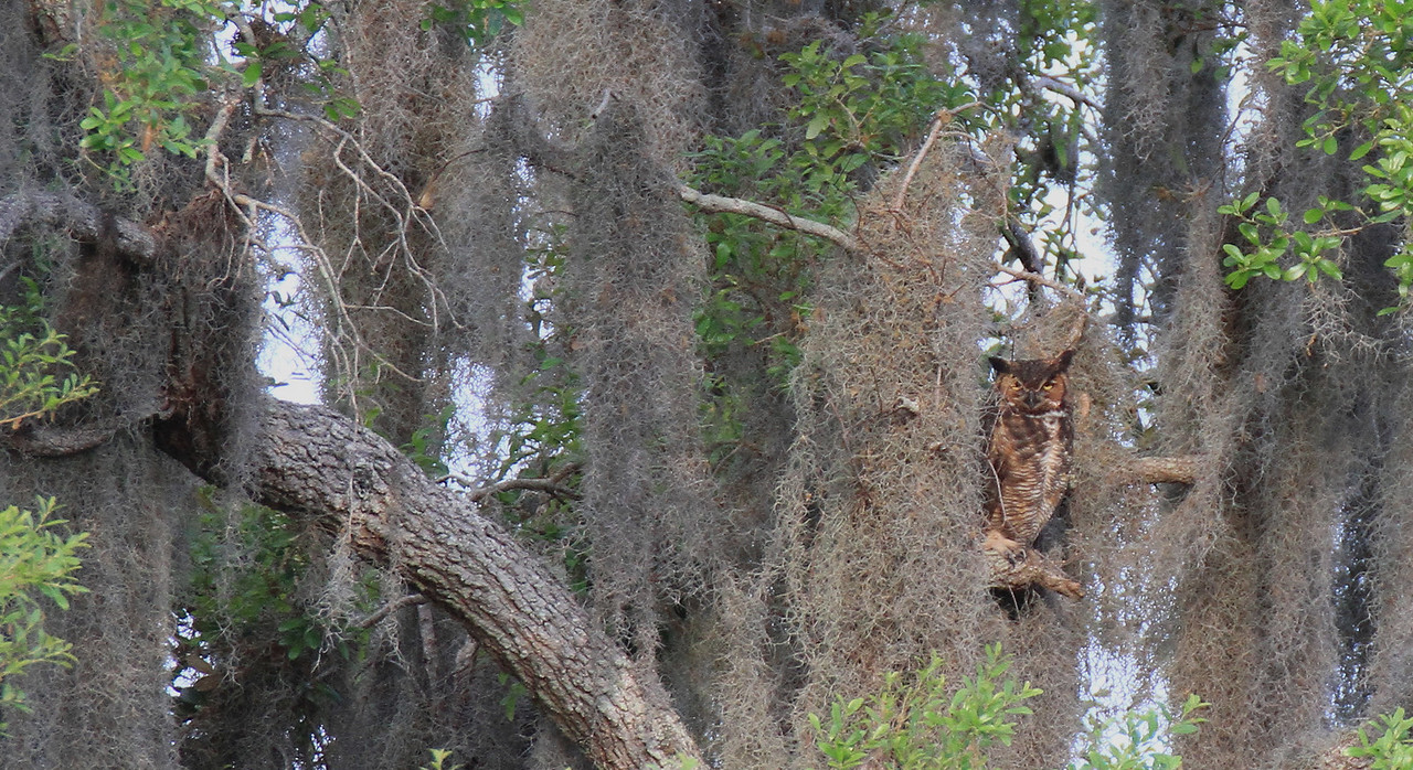 Hiding up in another oak tree was a great horned owl.