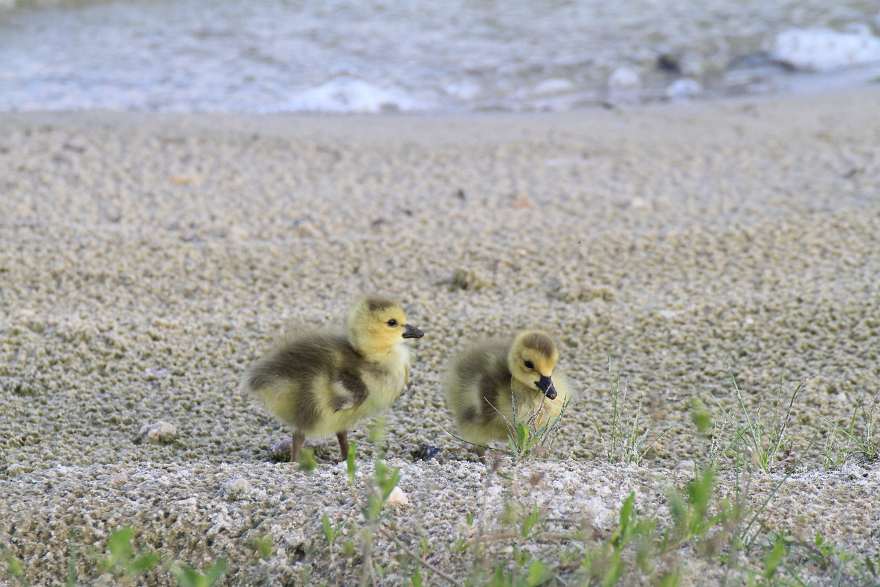 About 3 day old Canadian Geese