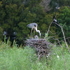 Heron feeding her babies at one of our preserve areas.