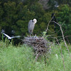 Heron with her baby chics at one of our preserve areas.