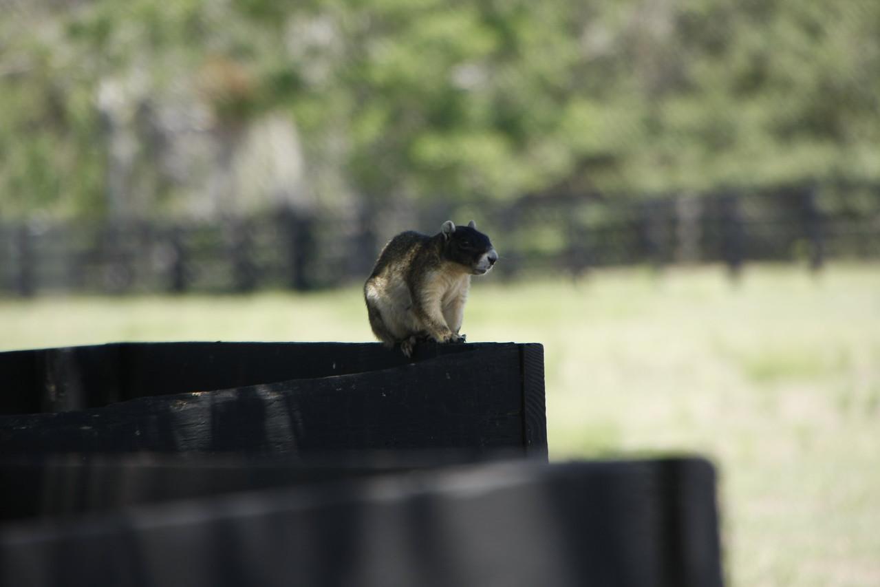 A Fox squirrel sitting in the shade.