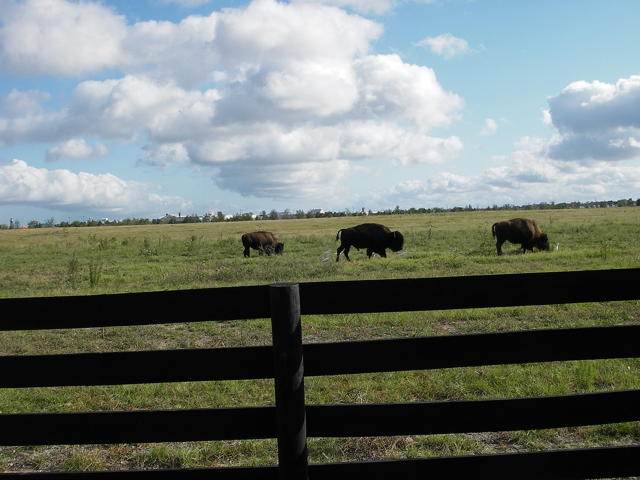 Buffalo in one of the Village's preserve areas.
