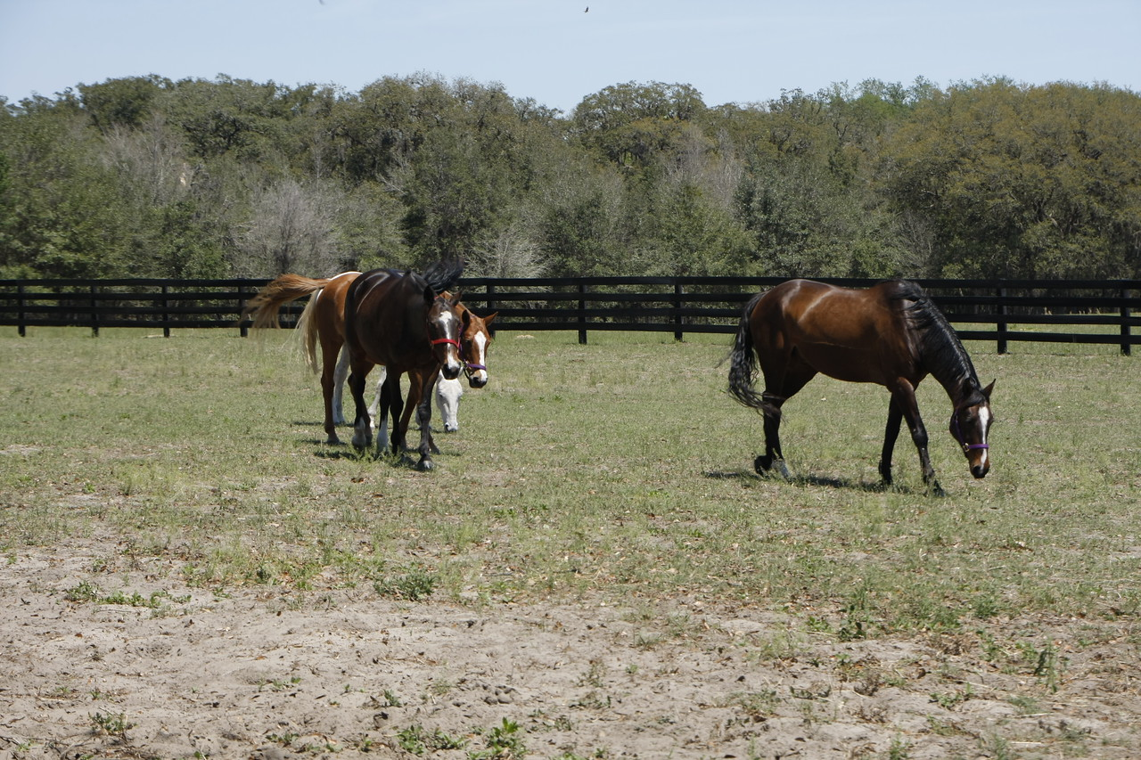 Horses peacefully grazing before a polo match.