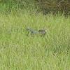 Florida gators enjoy The Villages lifestyle too.
