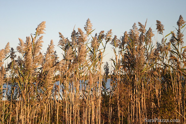 Bullrushes on the edge of Trapp's Pond.