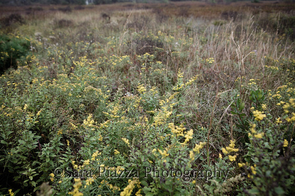 Goldenrod, Great Plains.