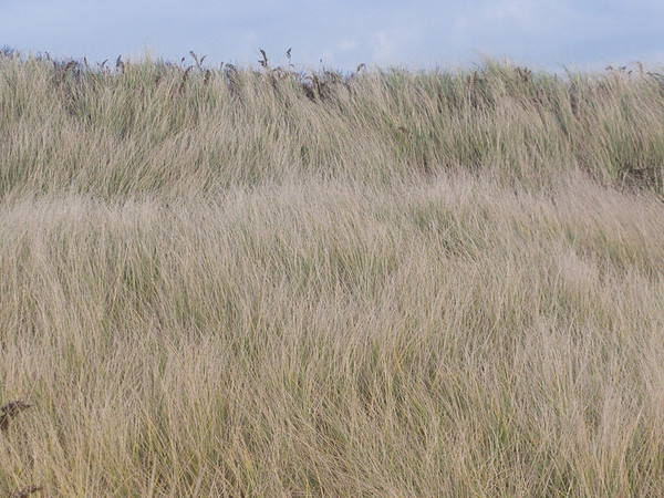 The strong wind created an interesting wave pattern on the beach grasses, more adequately depicted in the short film strip that I will attempt to upload at some point. Yay! I have uploaded the film clip, which you will find at the end of this page.