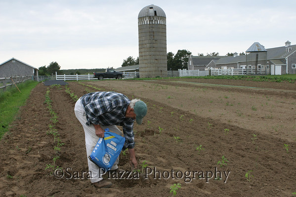 Maury Dore, fertilizing young tomato plants at Herring Creek Farm on an early June evening.