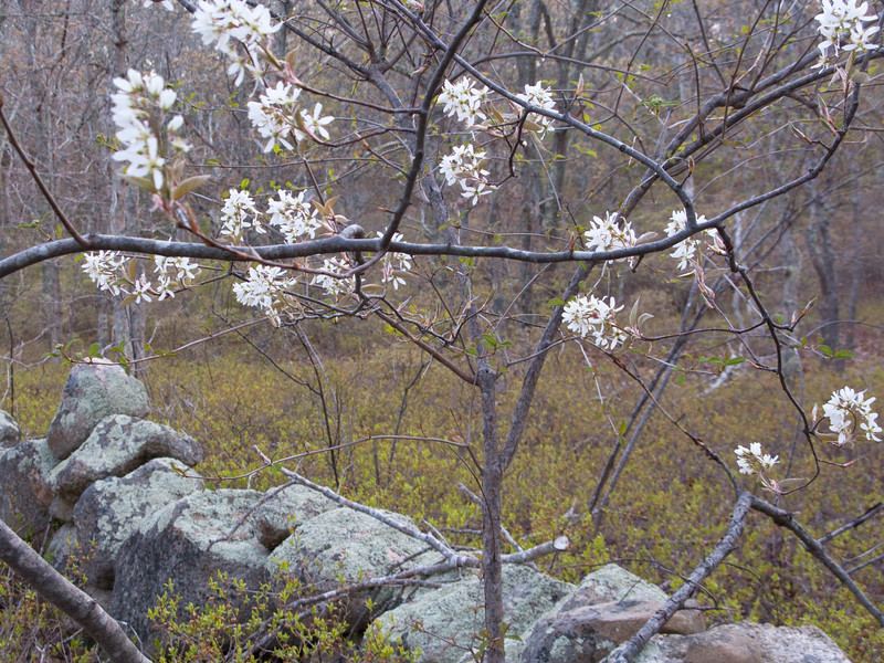 When the shad bush blooms, the herring are running. That's what the old-time islanders say.