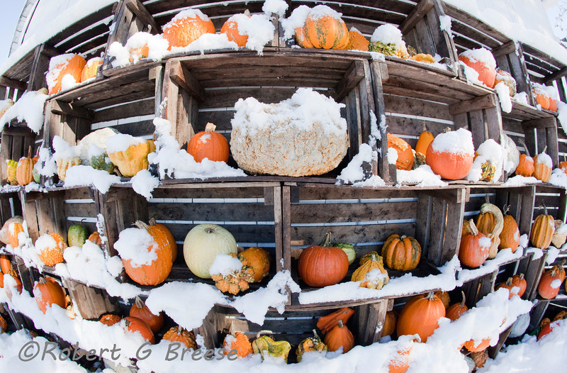 The pumpkin and ghourd display at Scheuermann's Farm in Warwick is snow capped after the October 29th snow storm which passed through the area dumping over eight inches of snow in the region.