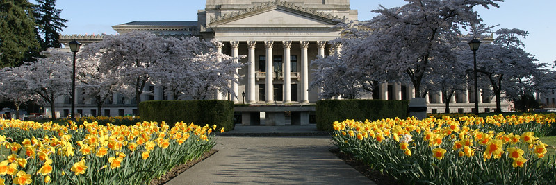 Capitol with Spring Daffodils and Cherry Blossoms - Panorama