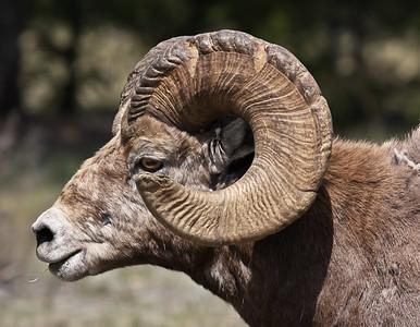 Bighorn Sheep - Jasper National Park