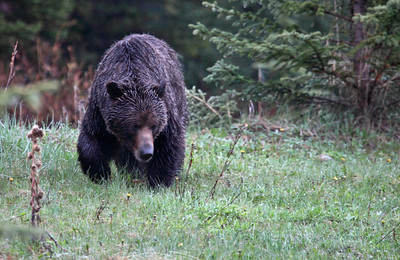 Young Grizzly, Highwood Pass, Alberta