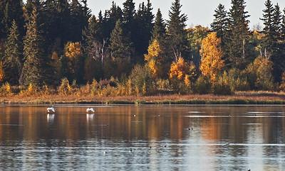 Trumpeter Swans - Elk Island National Park