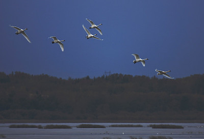 Trumpeter Swan Migration - Big Lake, Alberta