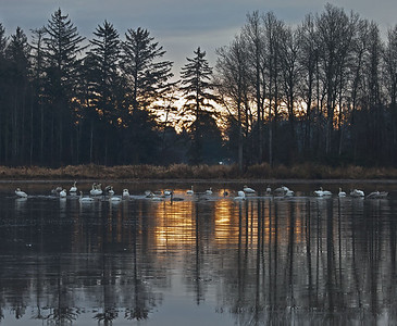 Trunpeter Swan Migration - Comox Valley, B.C.