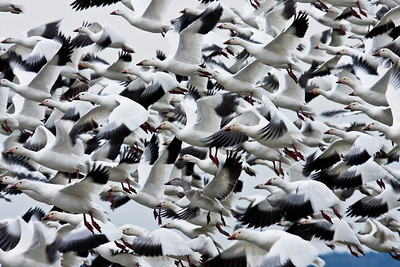 Snow Goose Migration - Near Skagit Bay, Washington