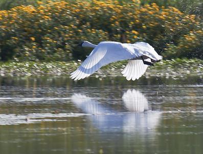 Trumpeter Swan - Elk Island National Park