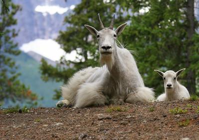 Mountain Goats - Kerkeslin Goat Lick, Idefields Parkway