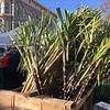 Sugar cane at Old Oakland's Farmers' Market