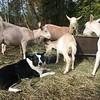 "Boomer guarding ""her"" goats."