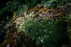 Tufted Alpine Saxifrage  (Saxifraga caespitosa ssp)