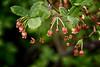 Lovely Rusty Menziesia  (Menziesia ferrunginea)