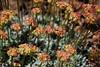 Subalpine Buckwheat