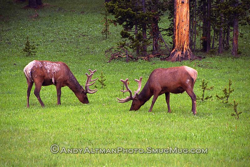 Elk Shedding Winter, Yellowstone NP