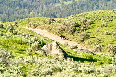 One of a pair of grizzlies that crossed in front of me one morning.