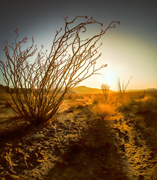 Ocotillo Sunrise