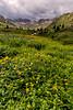 Wildflowers, American Basin, Colorado