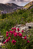 Wildflowers, American Basin, Colorado