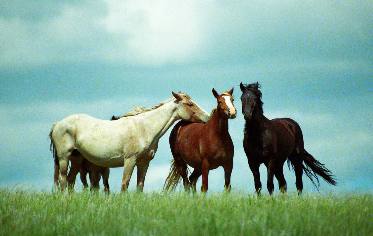 """The Three Amigos"" Wild Mustangs, Theodore Roosevelt National Park, North Dakota."