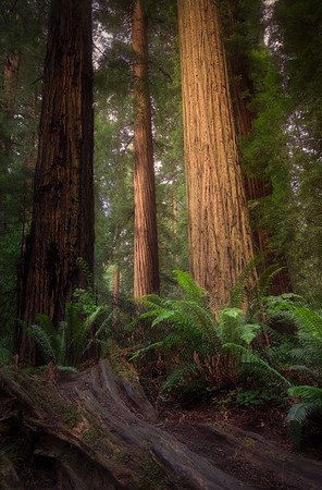 Enlightened Redwood Forest