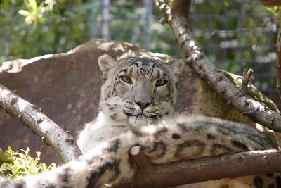 Snow Leopard Taronga Zoo Sydney