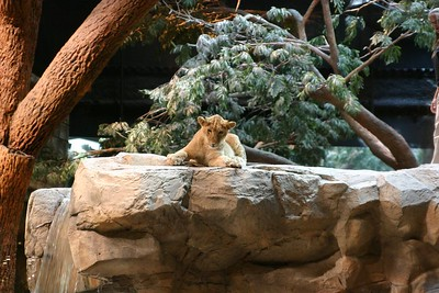 Lions at the MGM