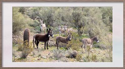 Donkeys at Lake Pleasant