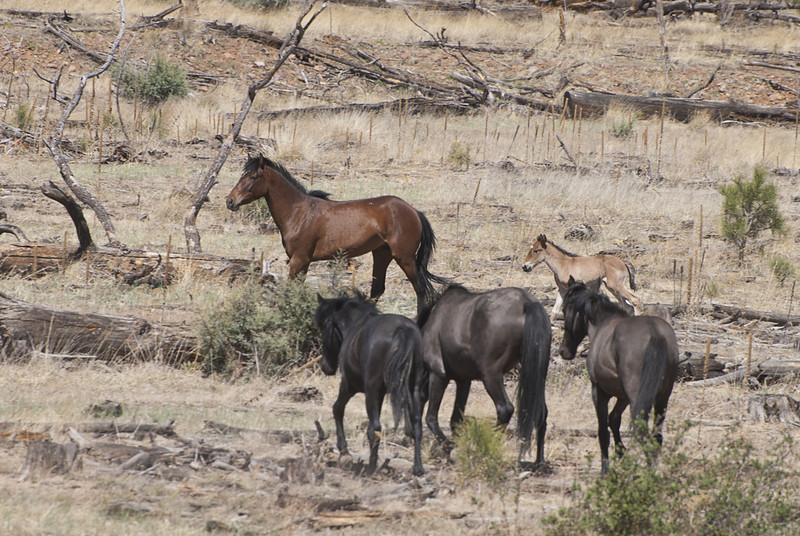 Heber's Wild Horses 2014