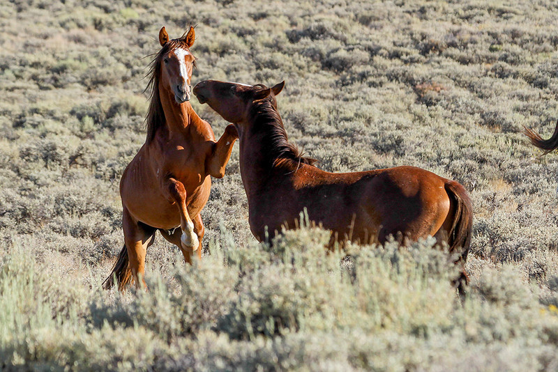 Horse Play - Wild Horse Tour, Green River, Wyoming - Jack Denger - August 2013