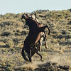 Fighting or Dancing - Wild Horse Tour, Green River, Wyoming - Roger Luft - August 2013