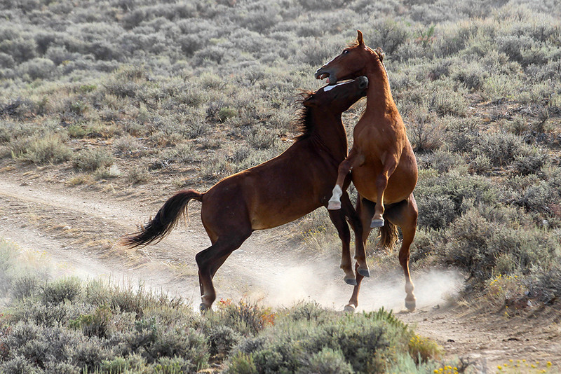 Going for the Throat - Wild Horse Tour, Green River, Wyoming - Jack Denger - August 2013