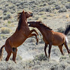 Horse Fight - Wild Horse Tour, Green River, Wyoming - Carla Farris - August 2013